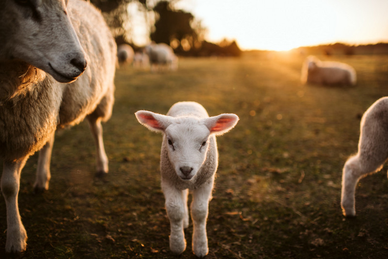 Prime lambs on green grass. Photo 958472174 © PPAMPicture | iStockPhoto