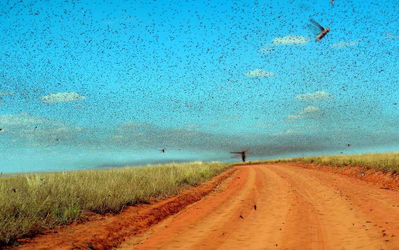 Swarm of locusts. Creative Commons © Iwoelbern | WikiMedia